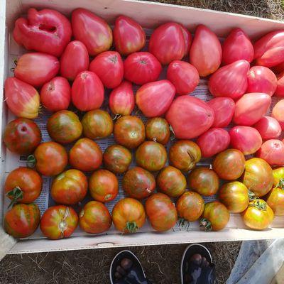 Caisse de 10kg tomates anciennes