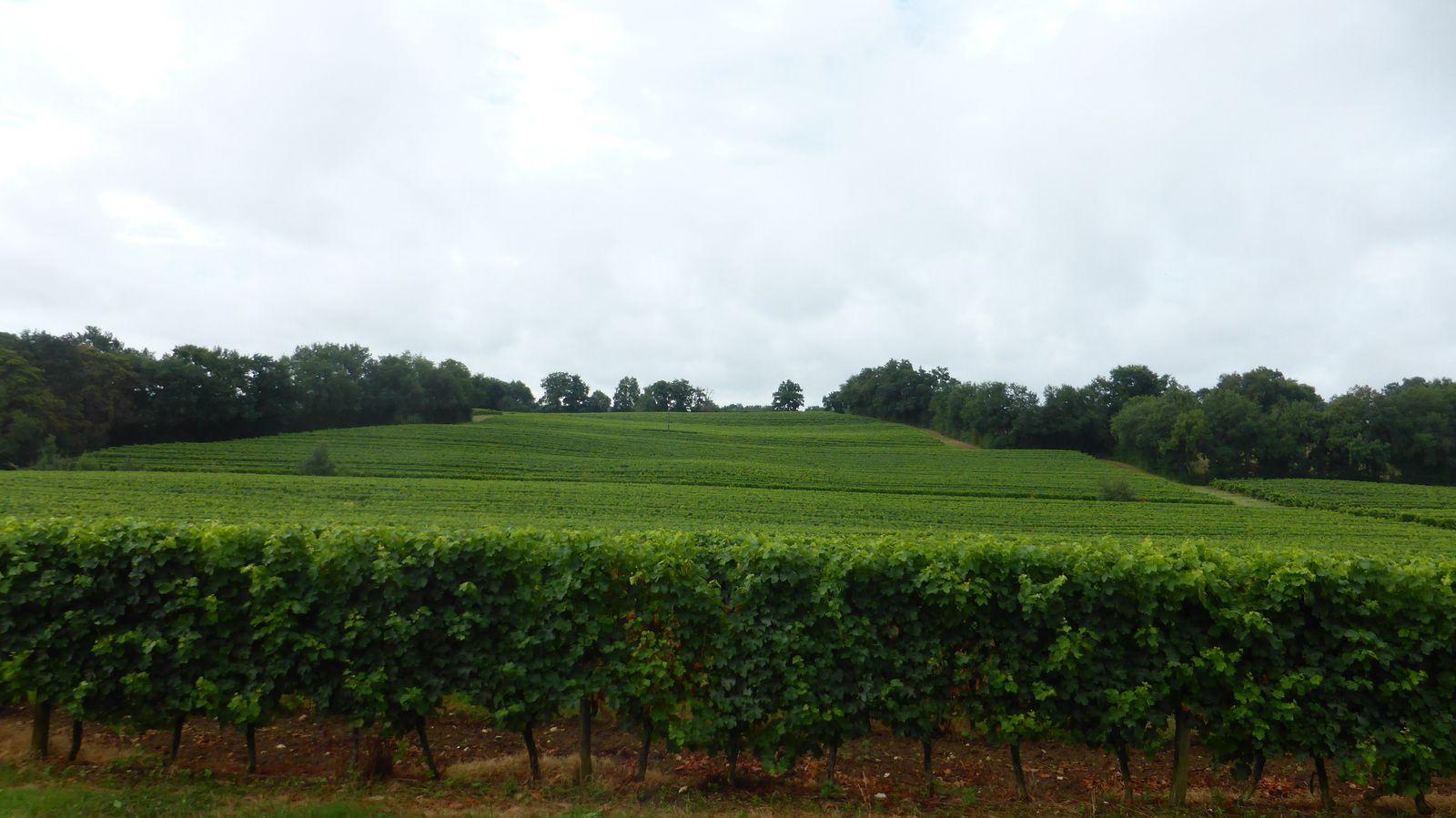 Nous parcourons plusieurs domaines de vignobles avec différents cépages : - En blanc : Colombard, Ugni-Blanc, Gros Manseng, Petit Manseng, Sauvignon, Chardonnay. - En rouge : Merlot, Cabernet Franc, Cabernet Sauvignon.