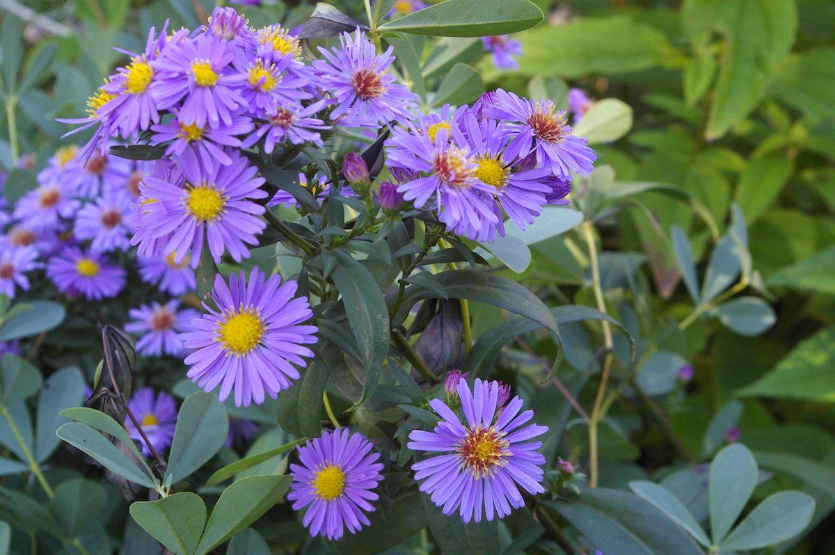 Aster laevis purple Calliope
