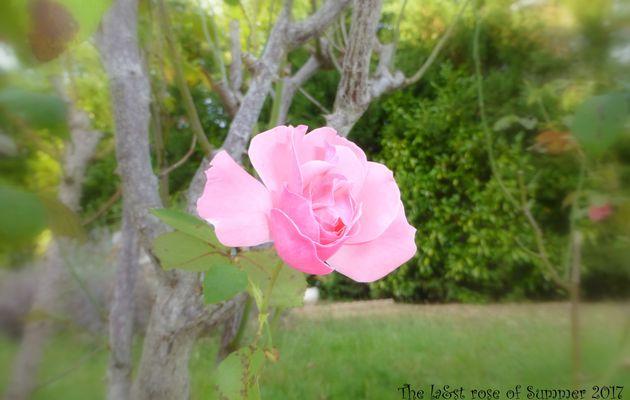 Cánh hồng nở muộn