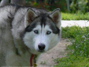 Le husky !!!