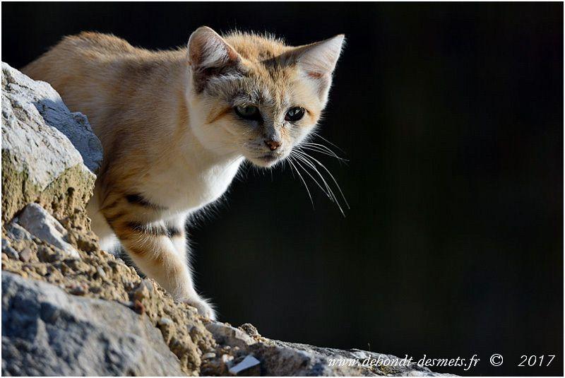 Le Chat des sables doit son nom d'espèce au général français Marguerite qui mena une expédition en 1855 au Sahara et fut le premier Européen à voir et capture un chat des sables sur la frontière algéro-libyenne.