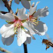 L'abeille arrive sur les fleurs d'amandier - Autour de