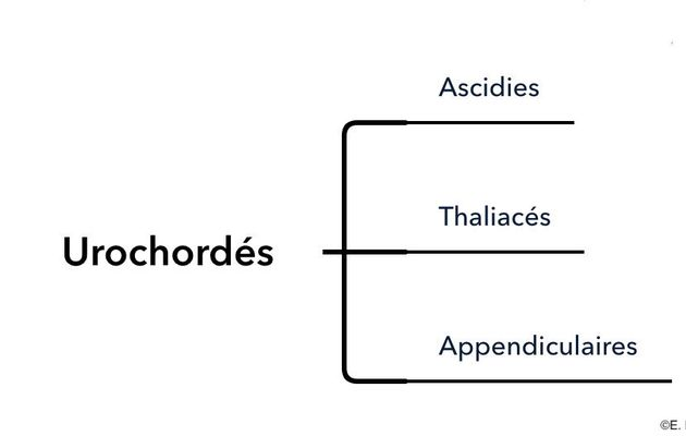 La classification des Urochordés