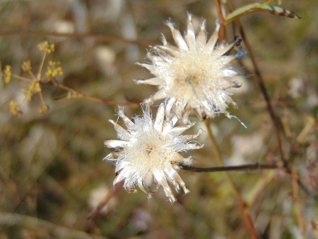Houx, chardons, églantines..... Flore très variée sur les prairies sèches du Goeftberg. Site naturel protégé.