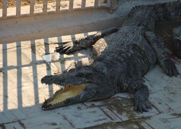 J'ai touché un crocodile !