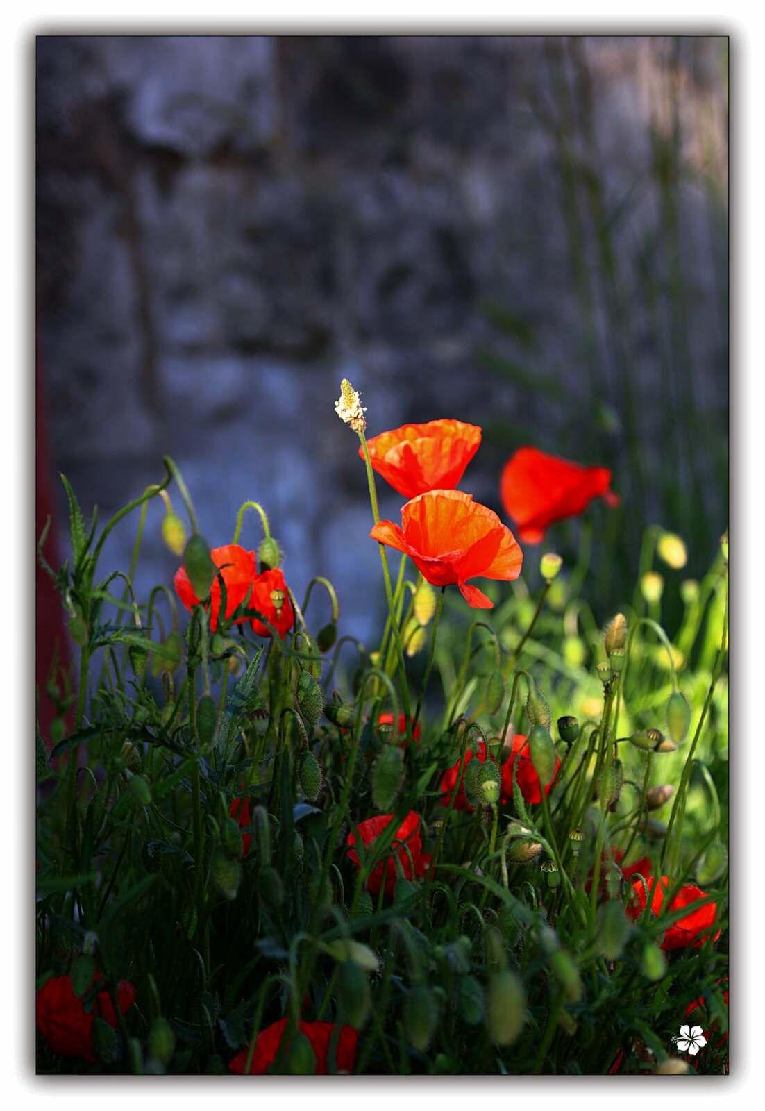 J'aime les fleurs qu'on ne peux pas cueillir, celles qui ne épanouissement qu'en liberté, qui rougissent les prés, réjouissent les yeux, ces orgueilleuses fleurs qui ne vivent que libres. ( INCONNU)