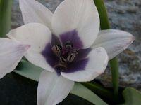Narcissus triandrus 'Thalia', Eremurus robustus blanc-rose, Tulipa violacea palida