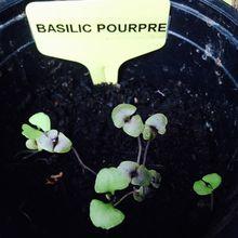 Semer du basilic en décembre, oui, oui, c'est peut-être possible ! Test en cours...