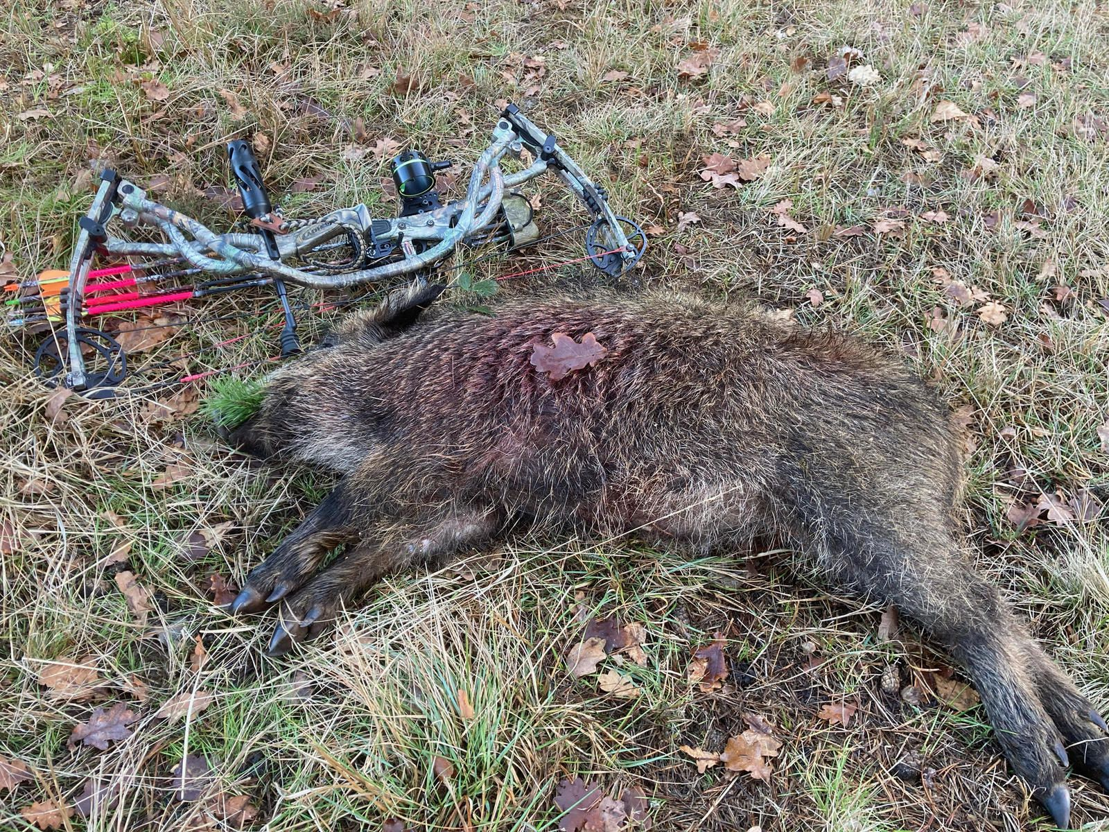 Sanglier chasse mixte