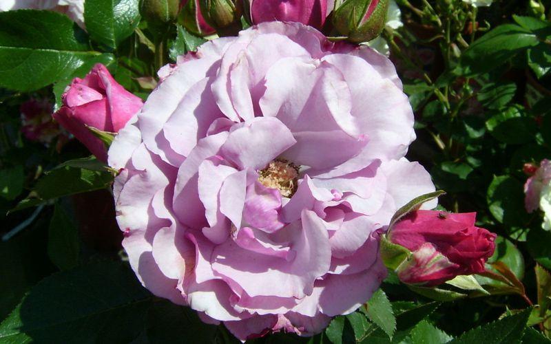 Découvrez le rosier Dioressence