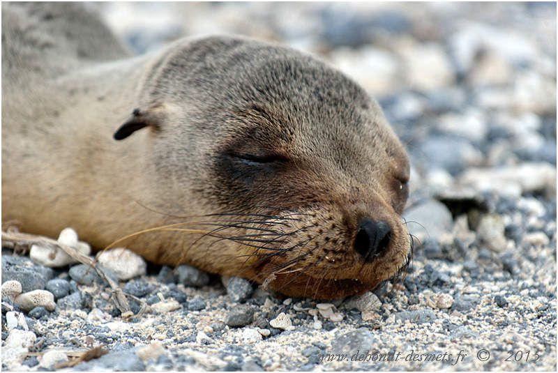 Jeune otarie des Galápagos.