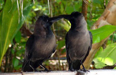 Diebe in schwarz-Glanzkrähen