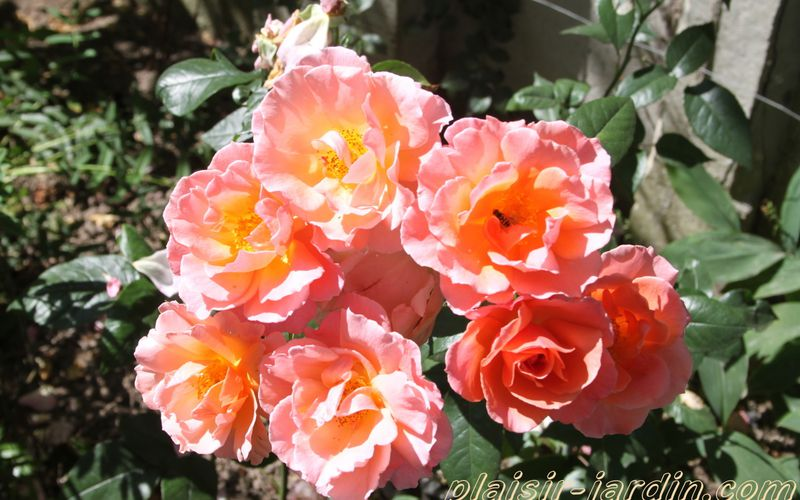 Le rosier 'Fragrant Delight'