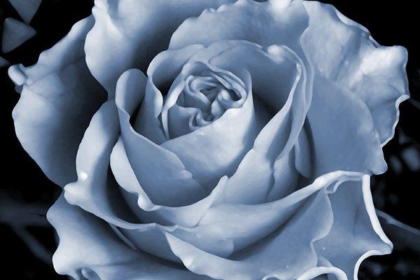 La rose bleue (celle des garçons)