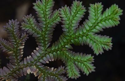 Selaginella producta