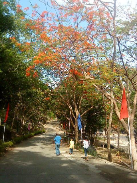 Fire Tree in Cebu, Philippines