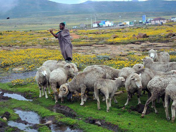 Royaume dans les nuages, mais royaume des moutons aussi