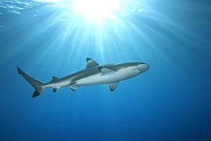 Blacktip Reef Shark in Cocoa Beach