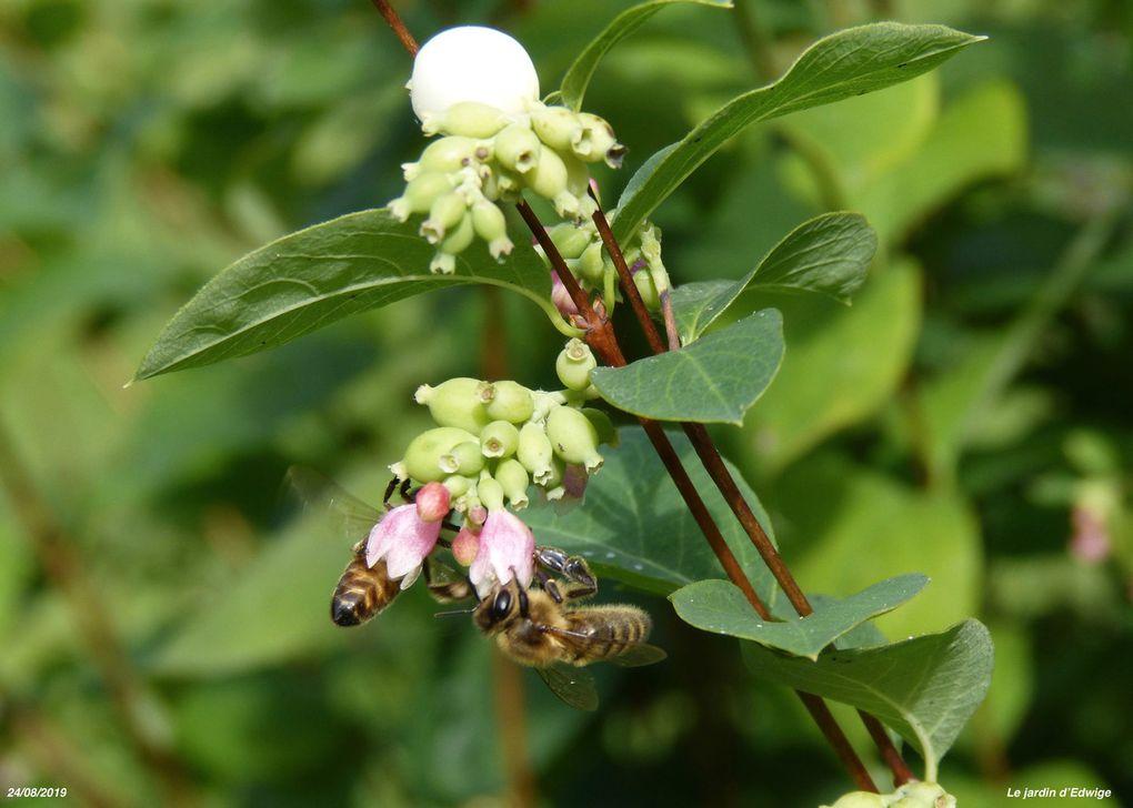 Symphorine blanche - Symphoricarpos albus.