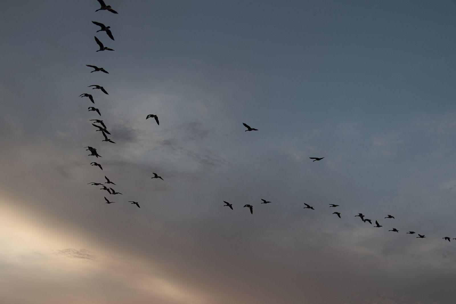La migration des bernaches du Canada se poursuit.