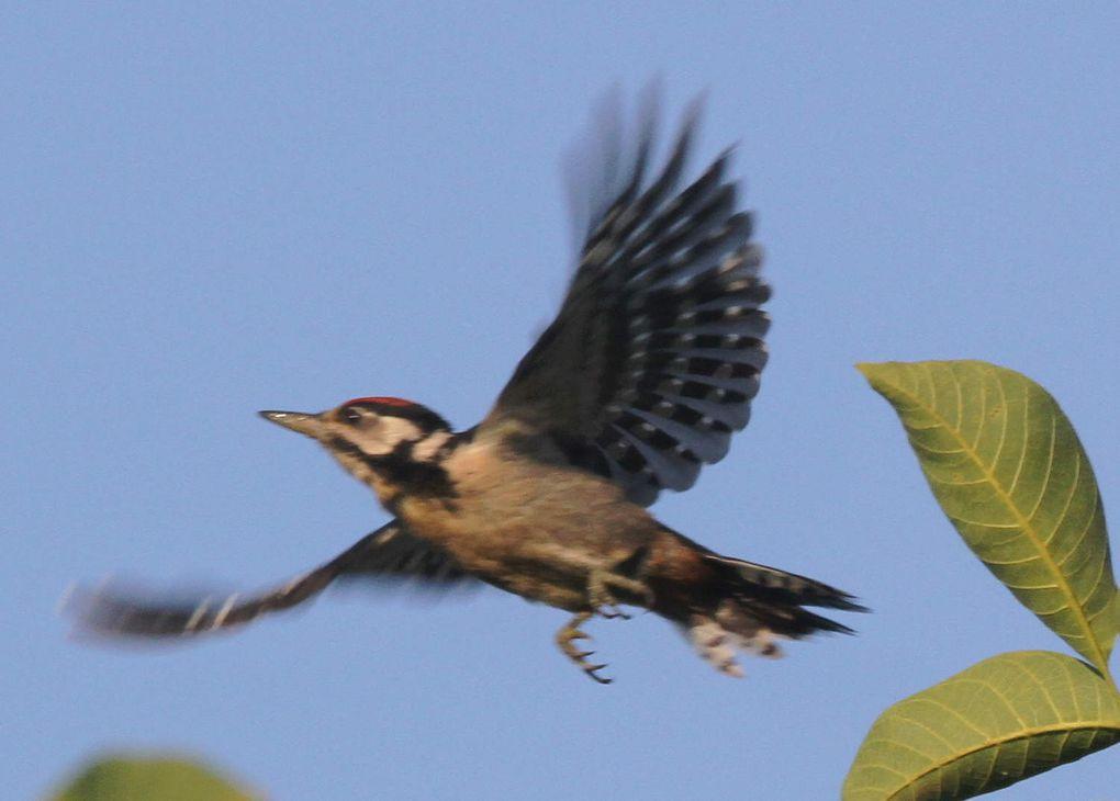 Les oiseaux du matin au Mont