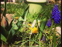 Bulbes (dans l'ordre Perce Neige, Crocus, Narcisse, Tulipe, Allium, Iphéion, Muscari)