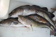 morues et banc de sardines
