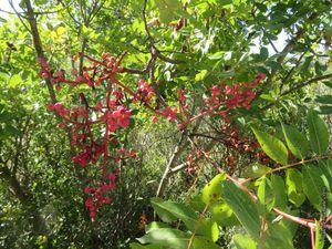 Pistachier lentisque (Pistacia lentiscus) ou arbre au mastic