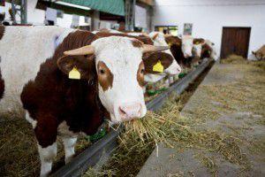 Farmaci vietati a bovini per incrementare la produzione di latte. Nas sequestrano due quintali di medicinali in 31 allevamenti