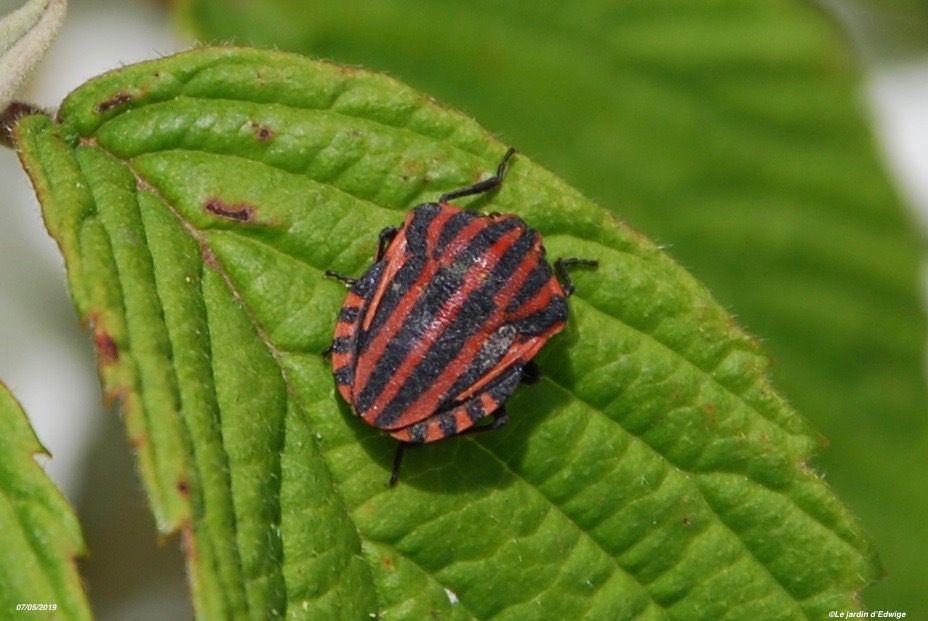 Punaise arlequin - graphosoma italicum