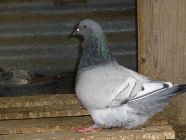 A-4:Visite du 13.05.2015 et 5.12.2018 chez Christian FAGOT Champion de France du pigeon Montauban