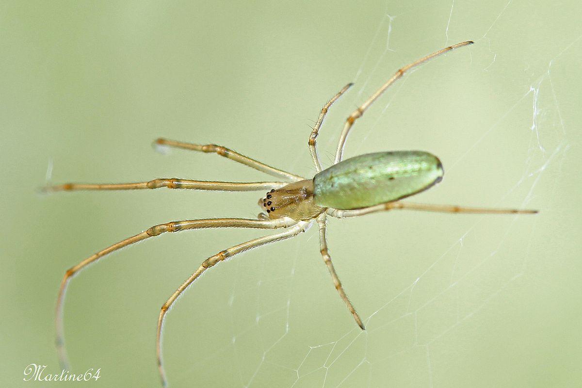 Araignée : Tetragnatha