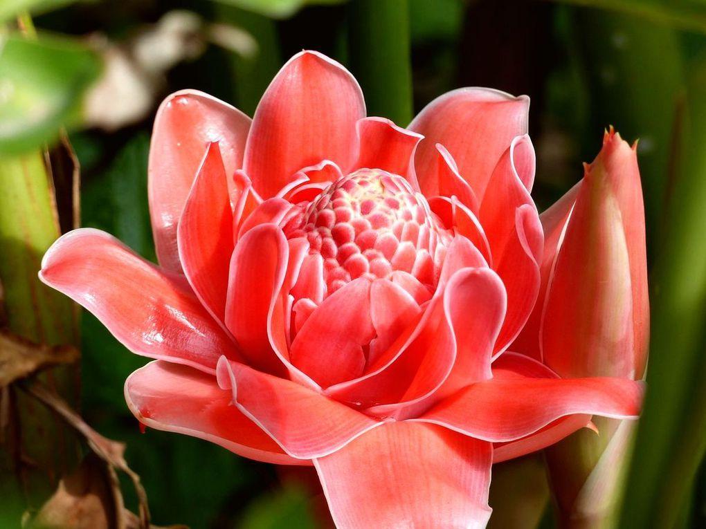 Elle est considérée avant tout comme une fleur décorative, au jardin ou dans un vase.