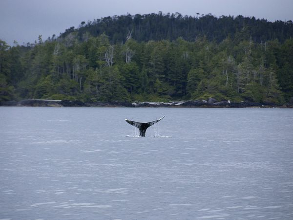 Whales watching in Tofiino