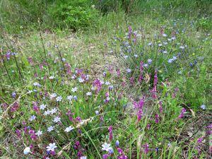 Autres plantes : pastel, fruit de salsifis sauvage, centaurée étoilée (Centaurea calcitrapa), un polygala et la Lampistrelle commune (Urospermum dalechampii)