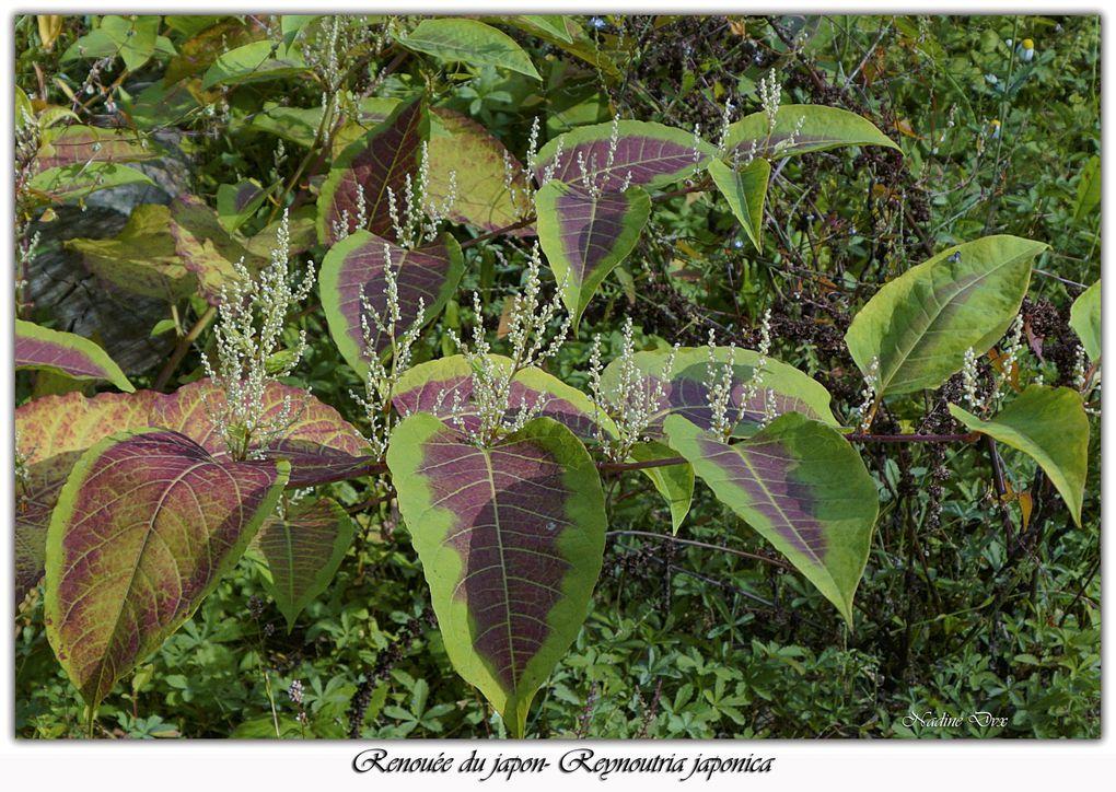 La Renouée du japon - Reynoutria japonica - La Gèmerie - Arnage