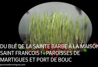 DU BLÉ DE LA SAINTE BARBE À LA MAISON SAINT FRANCOIS !