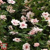 Rose 'Chawton Cottage' (Climbing Rose) | Thompson & Morgan