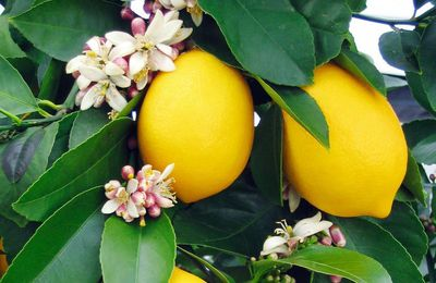 Easy To Grow Meyer Lemons Are Delicious and Sweet
