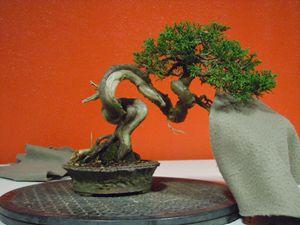 Photos 1 et 2 Sylvie voudrait supprimer la branche du haut à droite qui est mal placée dans le coude du tronc, la suppression de celle un peu plus bas est une alternantive.Quand à l'arbre de Ronan, la coupe de la branche basse pourrait être une belle opportunité