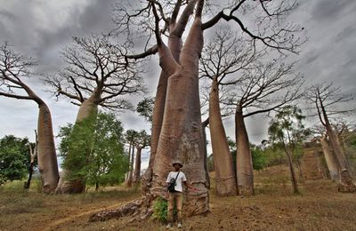Les Baobabs, grands corps malades.