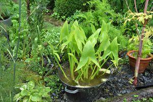 Encore un nouveau légume au potager : la sagittaire chinoise ou chi gu