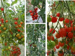 Tomate 'Sweet Baby'