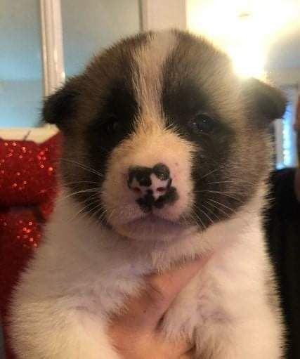 charmingredients akita puppies We have male and female puppies available. They are very beautiful, 12 weeks old,  will be 5lbs full grown. The puppies are friendly and like to be with children and other .