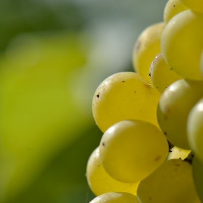 Vendanges 2014 / The 2014 vintage