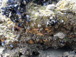 Celles-ci abritent le fameux Crabe marbré (venu de la Méditerranée et conccurent de notre Crabe vert). Très rapide et toujours tapi sous les rochers et dans les failles ; présence de bancs d'Hermelles : vers à tubes fragiles qu'il faut éviter de piétiner ; et enfin qui dit moulières, dit Pourpres (gastéropodes friands de moules) et leurs pontes (petites urnes jaunes tapissant la roche).