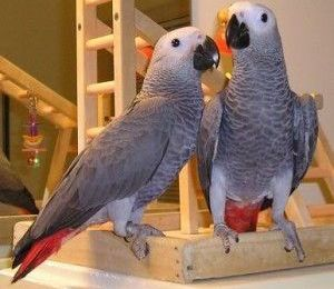 buying a african grey parrot Page navigation