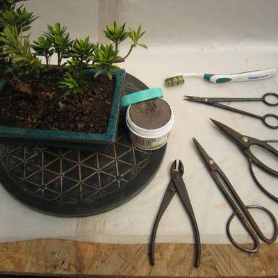 Entretien d'un podocarpus chinensis-3ème partie.