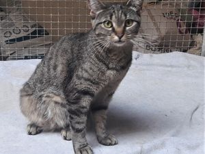 Elle est adoptée !!! : JUNON, petite chatte stérilisée d'1 an